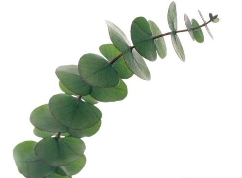 THERA ESTHETIQUE Grossiste En Produit Esthetique Bretagne Eucalyptus Leaves Eucalyptus Sp On A Branch These Are Used In Herbal Medicine For Expectorants F0010301